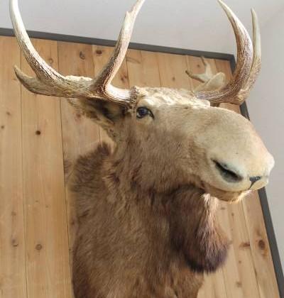 鹿剥製買い取り広島